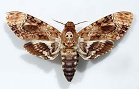 Biblical Beasts: Moth