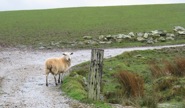 Lost sheep on farm track