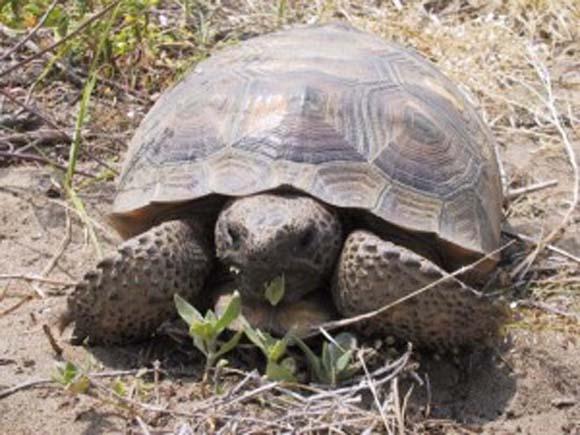 Biblical Beasts: Tortoise