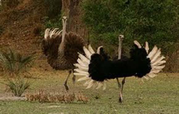 Biblical Beasts: Ostrich