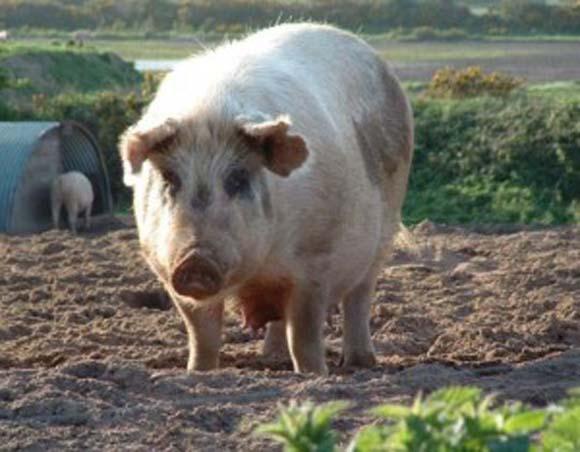 Biblical Beasts: Pig